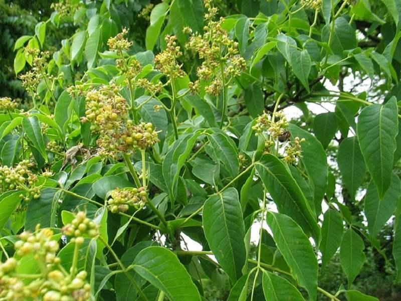 Cây hoàng bá là thảo dược Đông y có công dụng sát khuẩn, chống viêm nhiễm tốt