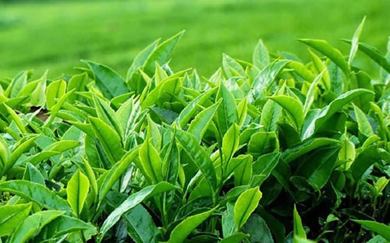 Trà xanh là loại lá dễ kiếm trong dân gian và được sử dụng để chữa viêm lộ tuyến