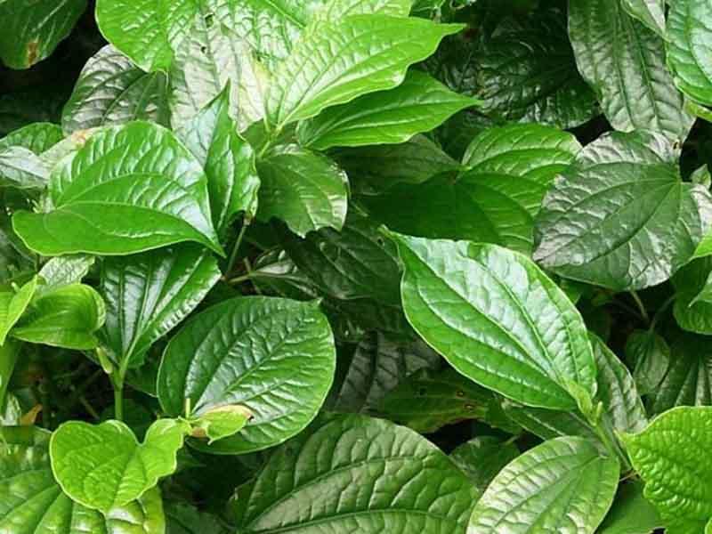 Lá lốt là một trong những vị thuốc nam phổ biến và có công dụng rất tốt trong việc điều trị viêm âm đạo