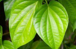 Bài thuốc dân gian chữa viêm âm đạo từ lá trầu vô cùng phổ biến và được nhiều người áp dụng