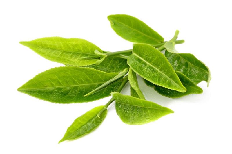 Bạn cần lựa những loại lá chè xanh tươi, bản to, không sâu héo hay có thuốc trừ sâu