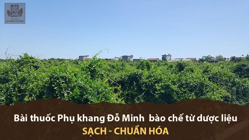 Vườn dược liệu sạch cung cấp cho bài thuốc Phụ khang Đỗ Minh